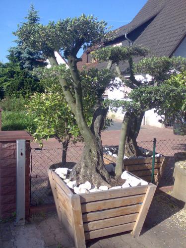 olivenbaum kaufen olivenpark rhein neckar. Black Bedroom Furniture Sets. Home Design Ideas