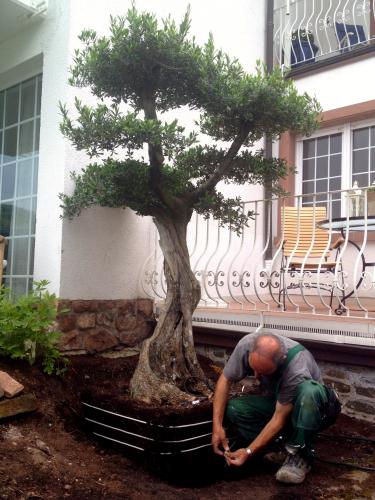 olivenbaum pflanzenheizung f r wurzel topf u stamm krone 15 meter olivenpark rhein neckar. Black Bedroom Furniture Sets. Home Design Ideas