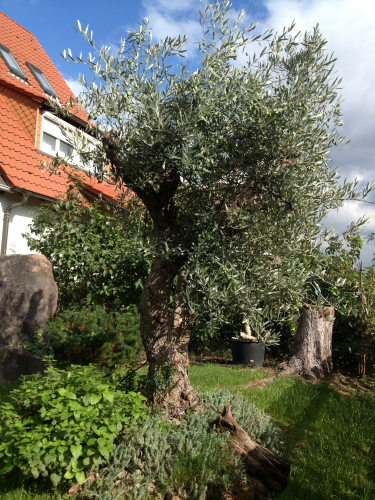 olivenbaumd nger olivenpark rhein neckar. Black Bedroom Furniture Sets. Home Design Ideas